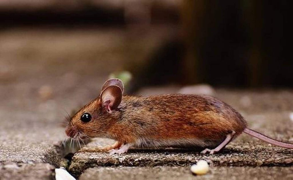 Australia is ready to make more efforts to combat the invasion of rats - Oyster-France evening edition