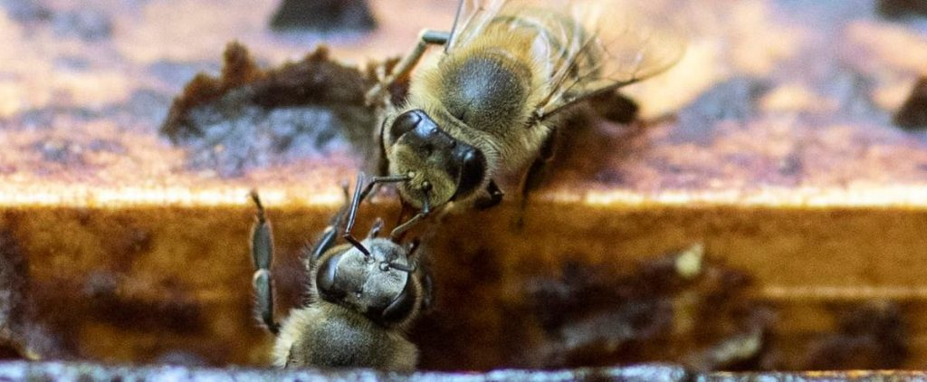 """Neonicotinoid imidacloprid: The """"bee killer"""" pesticide is still permitted in Canada"""