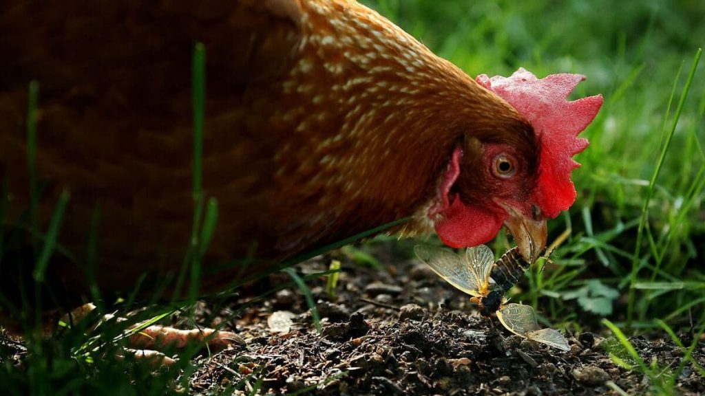 Stop kissing your chickens, appealing to US health officials