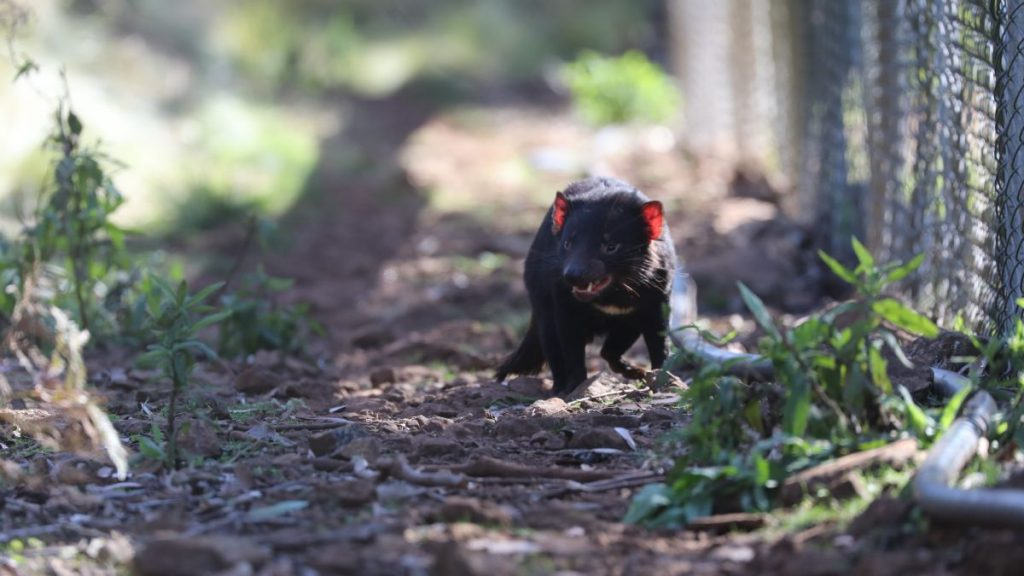 Wild Tasmanian demons were born on mainland Australia for the first time in 3,000 years