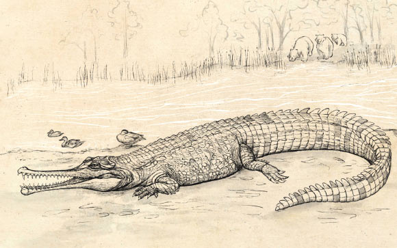 It is one of the largest crocodiles ever seen in Australia.
