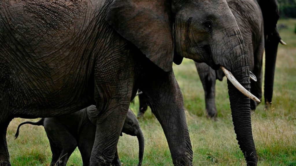 A horde of elephants is on a journey that breaks everything in its path