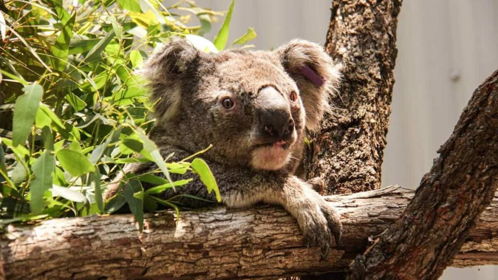 Australia: Researchers will test 'facial recognition' of koalas