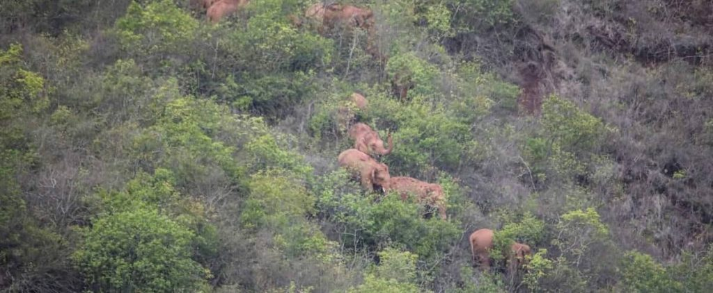 China: Escaped elephants are waiting for the next