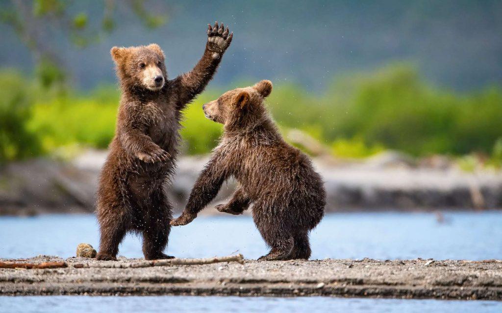 Il passe pour colérique, gourmand, paresseux, envieux, voire lubrique. Dans la réalité, l'ours brun a de nombreuses qualités. Et même des capacités cognitives que l'on a longtemps cru réservées aux Hommes. Il sait, par exemple, utiliser des outils. Pas si bête, notre ami l'ours brun ! © Petr Simon, Adobe Stock