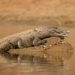 These crocodiles disguise themselves as a nest to hunt birds