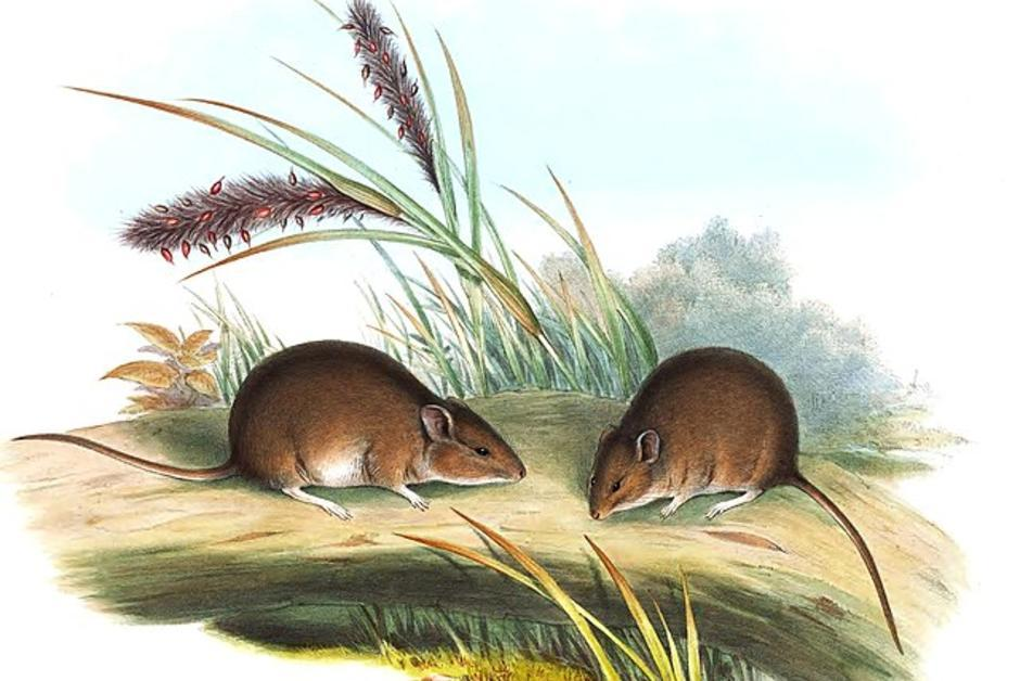 """Wildlife.  In Australia, a rodent resurrection is """"extinct for 150 years"""""""