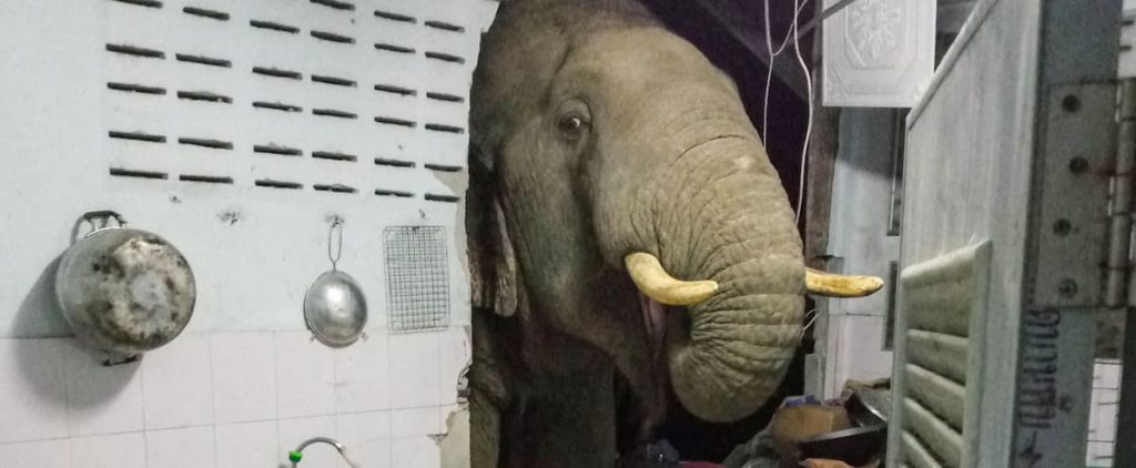 in pictures |  The elephant comes to their kitchen frequently