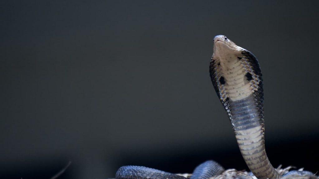 75 venomous snakes seized from North Carolina residence