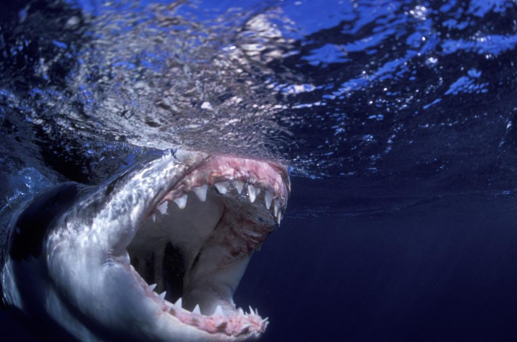 Awesome shark attack on a surfer