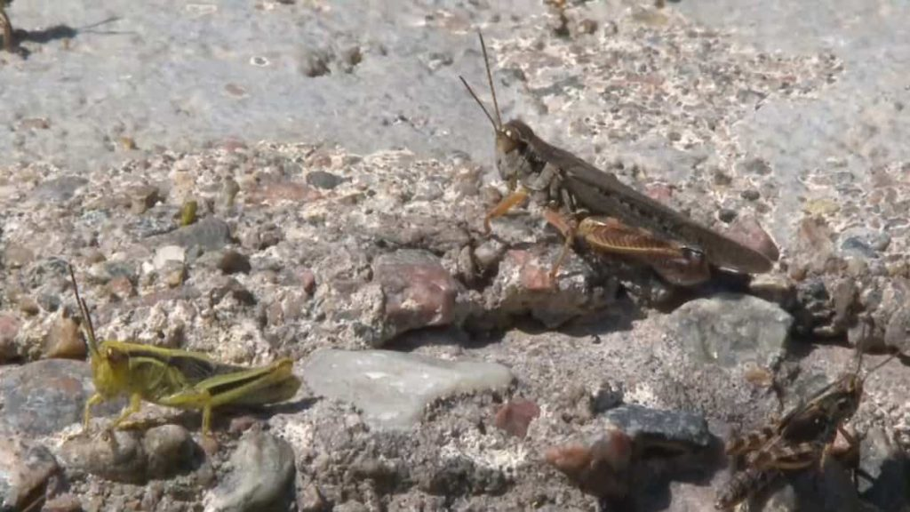 in pictures    Locust invasion wreaks havoc in Morrissey