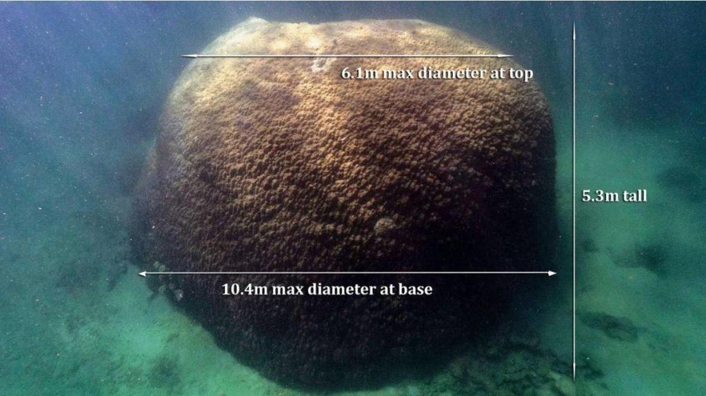 10,4mètres de diamètre à la base, 6,1m au sommet et 5,3mètres de haut, telles sont les dimensions impressionnantes de ce corail baptisé «Muga Dhambi».