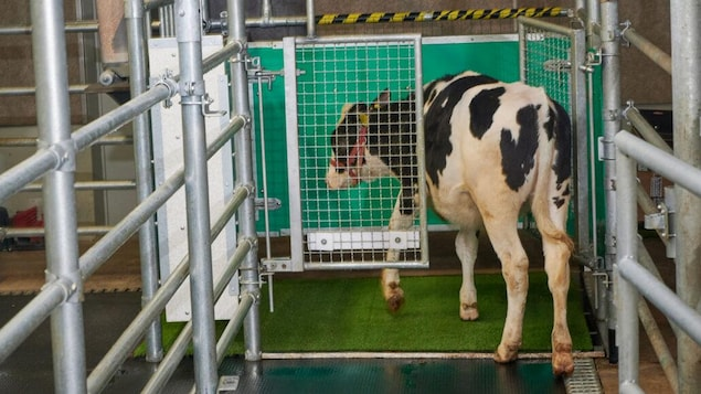 Cows trained in hygiene