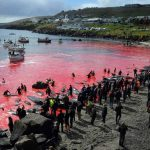 In the Faroe Islands, an emotion after the killing of 1,400 dolphins