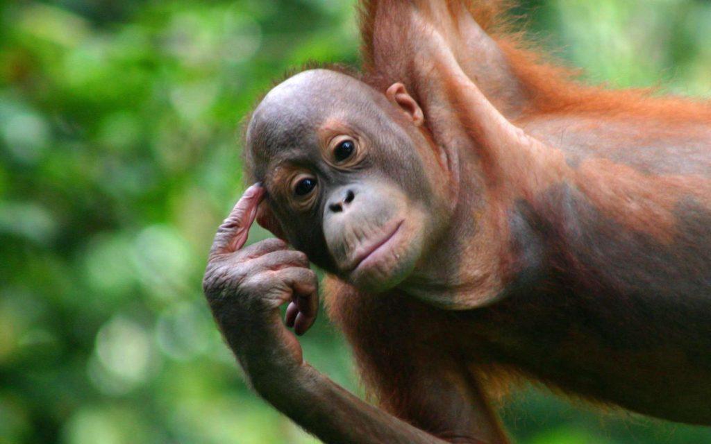L'orang-outan, c'est l'Homme de la forêt. Mais ce n'est pas parce qu'il passe sa vie à se balancer d'arbre en arbre qu'il n'a pas développé quelques capacités cognitives. Son habileté lorsqu'il s'agit d'utiliser des outils étonne même les chercheurs. Parce qu'il est certain que l'orang-outan n'est pas si bête ! © HenningManninga, Adobe Stock