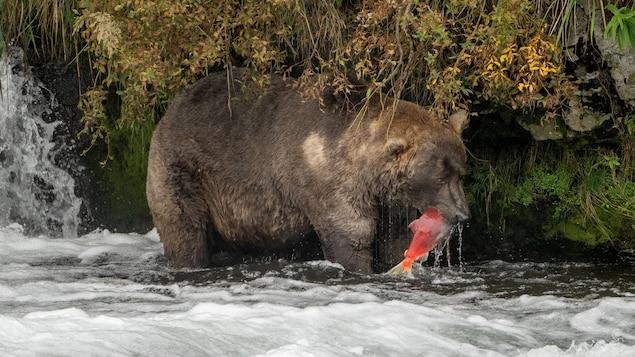 Otis crowned the largest bear in Katmai Park, Alaska
