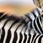 Zebra hunting is unlikely near the US capital